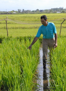In Cuba: Rice production strengthened