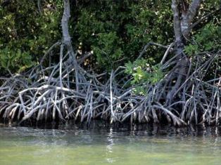 El litoral de la cienaga de Zapata es el mayor y mejor conservado humedal del Caribe insular