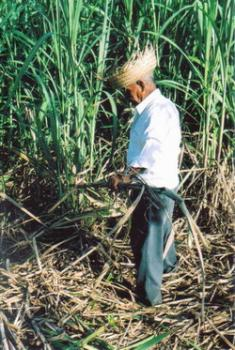 Holguin, Cuba: Special Day of Support for Sugarcane Harvest
