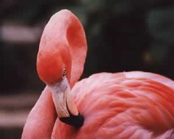 Largest pink flamingo protected site in Cuba