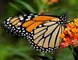 Monarch butterflies in Cuba