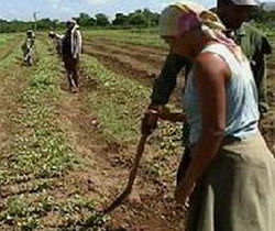 In Cuba the land can produce anything, if worked properly