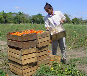 Farms Granted in Usufruct Already Yielding in Ciego de Avila Cuba