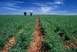 agricultura chicharo