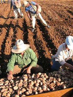 In Ciego de Avila Cuba  Farmers are planting 61 282 acres of potato