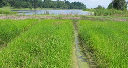 Cuba-Vietnam rice project advances