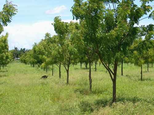 Aumenta el indice boscoso en Ciego de Avila Cuba