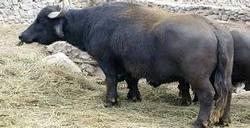 In Las Tunas, Cuba Increases Reproduction of Buffalos