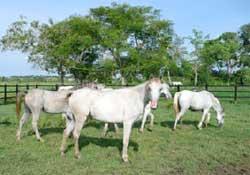 caballosarabes