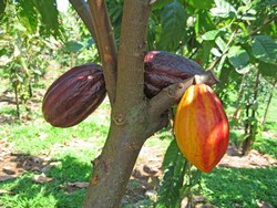 Cacao imprint in Baracoa to show an international event