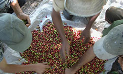 Cuban Coffee Production Grew 27 Percent in 2008
