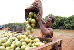Procesan en Matanzas Cuba unas 13 000 toneladas del citrico derribado por los ciclones