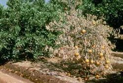 Cuba develops strategy to fight destructive Citrus Virus