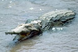 A Cuban Crocodile Moves from New York to Miami
