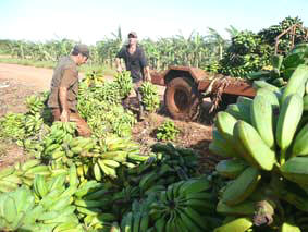 Farmers from Ciego de Avila Cuba Losses before Mammoth Production