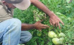 Las Tunas Works to Achieve Agricultural Growths in 2008