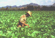 Increases Cuba in an important way the production of tobacco