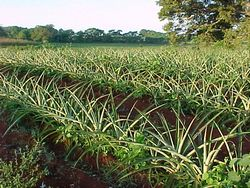 Pineapple Planted in Eastern Cuba