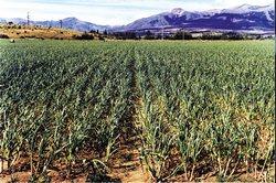 En Ciego de Avila Cuba Intensifican la plantación de cultivos varios