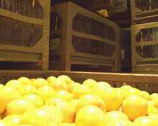 Cuba has exported more than 10000 tons of concentrated juice to Europe