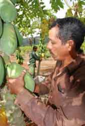 fruta bomba planta