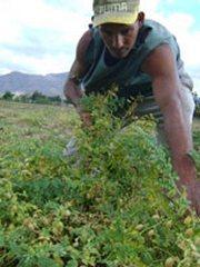 Cultivan garbanzo en zona conocida como el semidesierto cubano