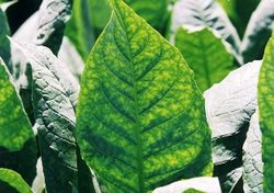 Cuban Tobacco Growers Augur Good Quality