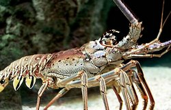 Cuba Increases over 270 metric tons Lobster Capture