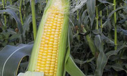 Cuba Plants First Genetically Modified Corn Crops