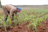 Maiz transgenico en Valle del Caonao Sancti Spiritus Cuba