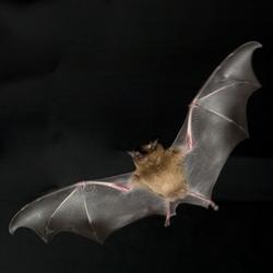 In Pinar del Rio Cuba Extra size bats visible
