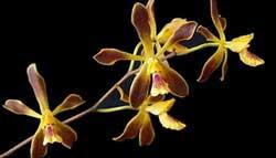 orquideasnoche