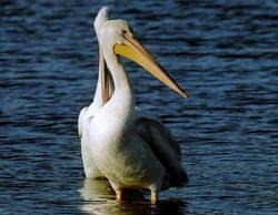 White pelican takes shelter in Pinar del Rio