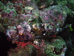 A rarity in the Caribbean !: A scorpionfish captured in Santiago de Cuba