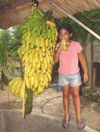 Banana clusters that could set Guinnes records