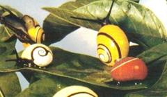 En peligro de desaparecer la polimita picta, el caracol cubano considerado la concha más bella del mundo