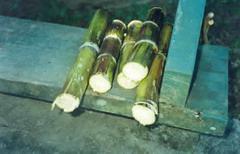 Cuba has drought-resistant sugarcane