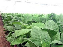 Tobacco Harvest in Pinar del Rio Cuba in Final Stage