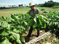 Las Tunas Cuba toward an Efficient Tobacco Campaign