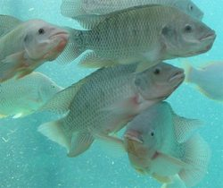 New kind of tilapia, genetically improved, is being introduced in Cuba