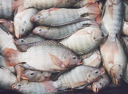 Cuba boosts artificial fish raising