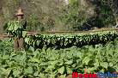 Tobacco plantations damaged by heavy rains in Eastern Cuba