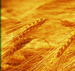 Cuba signs a contract with Canada to buy wheat