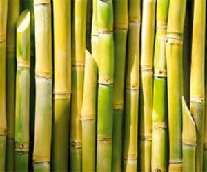 The Cuban Sugar Cane Ripener FitoMas M Gives Great Results In Central Mexico And Uruguay Announced On 4 August Media Of Island